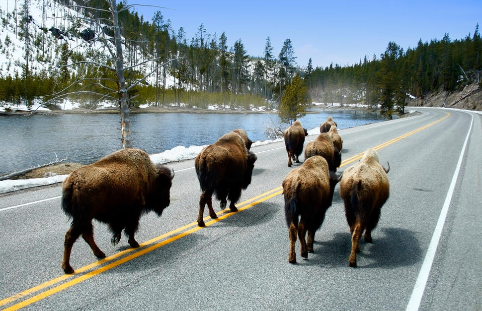Close Encounters of the Yellowstone Kind!